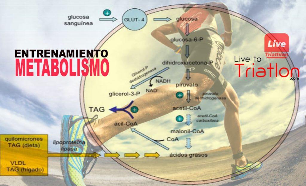 entrenamiento-metabolismo